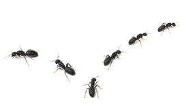 Marching Ants Royalty Free Stock Image