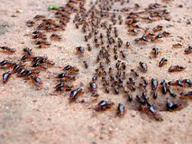 Marching ants. A group of ants marching out from their hole Stock Image