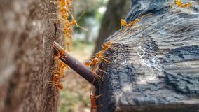 Marching Ants between Trunks Stock Photos