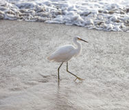 Marching Egret Stock Photography