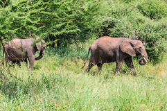 Marching elephants in Tarangire Park, Tanzania Royalty Free Stock Images