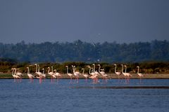 Marching flamingos. Birds migratory wallpaper beauty pink nature lake stock photo