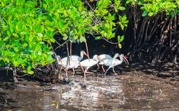Marching Ibises in the Mangroves royalty free stock photo