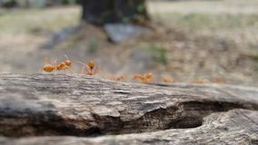 Marching orange Ants Stock Photos