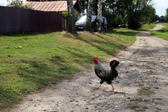 Marching rooster with a red crest. A grey and black rooster with a red crest crossing the road in the village. Road running away, trees and a green lawn on the Stock Images
