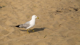 Marching Seagull Royalty Free Stock Image