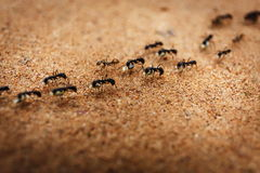 Marching swarm of ants. Colony of ants and their teamwork in Cambodia Royalty Free Stock Photography
