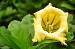 Marchio di infamia dentro il fiore di giallo del fiore Fotografia Stock Libera da Diritti