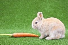 marchwiany domowy królik Zdjęcie Royalty Free