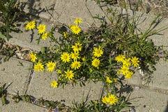 Marciapiedi, fiori ornamentali, fiori colorati naturali, fiori ornamentali della città, fiori fra le pietre, Immagini Stock