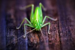 Macro Tettigonia viridissima sits on a piece of wood. photo from the front with sharpness royalty free stock photography