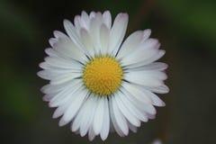 Marco,一朵开花的雏菊在夏天 免版税图库摄影