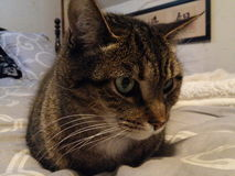 Marco кот tabby Стоковая Фотография RF