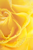 Marco beautiful yellow rose with water drops Royalty Free Stock Photo