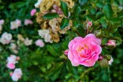 Marco borroso de rosas Fotografía de archivo