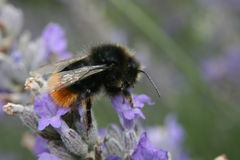 Marco bumblebee na kwiacie Zdjęcie Royalty Free
