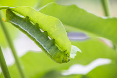 Marco Caterpillars mangeant la feuille verte photos stock