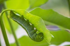 Marco Caterpillars som äter det gröna bladet fotografering för bildbyråer