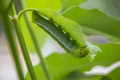 Marco Caterpillars som äter det gröna bladet royaltyfri foto