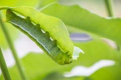 Marco Caterpillars som äter det gröna bladet Arkivfoton