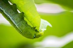 Marco Caterpillars som äter det gröna bladet arkivbilder