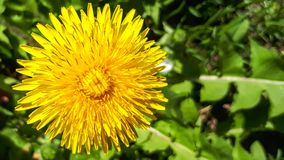 Marco dandelion. Closeup of a bright yellow blooming Sow Thistle & x28;Sonchus oleraceus& x29; on green grass background stock image