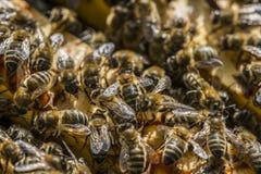 Marco de la abeja Fotografía de archivo libre de regalías
