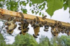 marco de la abeja con la barra de la célula - células de la reina con las madres de reinas de la abeja Fotografía de archivo