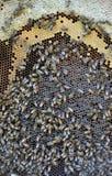 Marco de la abeja con la miel y la cría Fotos de archivo
