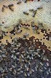 Marco de la abeja con la miel y la cría Fotografía de archivo
