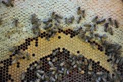 Marco de la abeja con la miel y la cría Foto de archivo