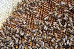 Marco de la abeja con las abejas Fotos de archivo