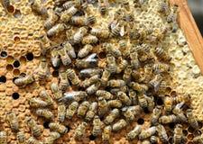 Marco de la abeja con las abejas Imagenes de archivo