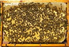 Marco de la colmena con los capullos de abejas Imagen de archivo