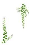 Marco de la naturaleza de la pequeña planta de la enredadera aislada en el fondo blanco Imagen de archivo