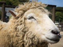 Marco de la sonrisa de las ovejas Fotografía de archivo