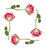 Marco de las rosas de Ombre Foto de archivo