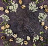 Marco decorativo con los huevos de codornices en el fondo oscuro, visión superior Imagen de archivo libre de regalías