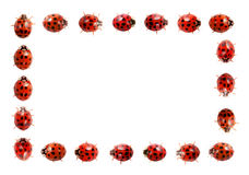 Marco del Ladybug Fotos de archivo