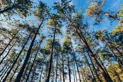 Marco del vintage de árboles de pino en la salida del sol en primavera Fotografía de archivo libre de regalías