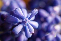 Marco der purpurroten Blumenanlage der Trauben-Hyazinthe Lizenzfreie Stockfotos
