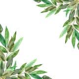 Marco enorme del eucalipto en un fondo blanco Ramas de la acuarela y hojas frescas del eucalipto Plantas medicinales pintadas a m ilustración del vector