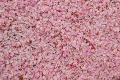 Marco femenino rosado de Cherry Blossom Flower Petals Full del fondo fotografía de archivo libre de regalías