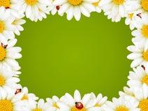 Marco floral de la manzanilla Foto de archivo libre de regalías