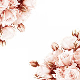 Marco fresco de las rosas Foto de archivo libre de regalías