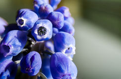 Marco of Grape Hyacinth purple flower plant. Stock Photo