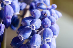 Marco of Grape Hyacinth purple flower plant. Royalty Free Stock Photos