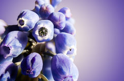 Marco of Grape Hyacinth purple flower plant. Royalty Free Stock Photo