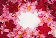 Marco hermoso de la flor del Frangipani en el fondo blanco Imágenes de archivo libres de regalías