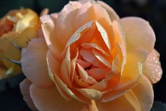 Marco of an orange rose. Covered in water drops shimmering in the sunlight stock images